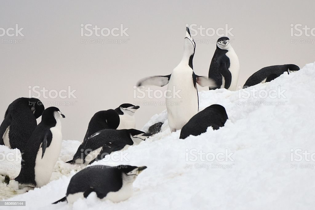 Chinstrap Penguins and a Smile stock photo