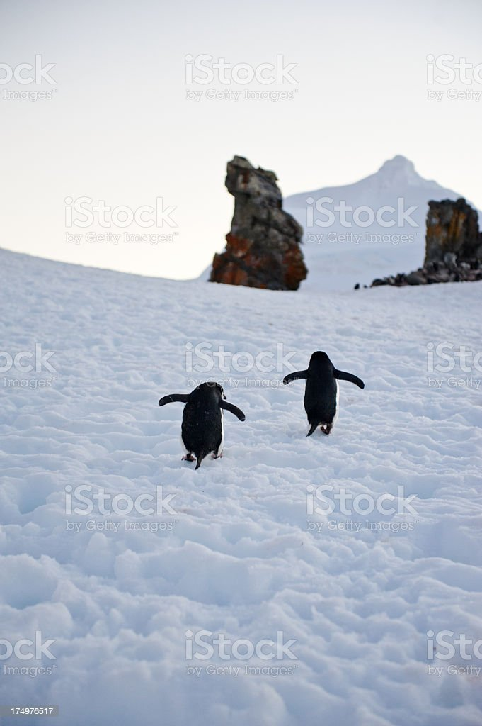 Chinstrap penguins climbing royalty-free stock photo