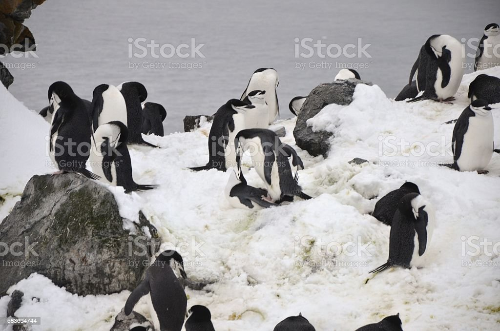 Chinstrap Penguins Mate stock photo