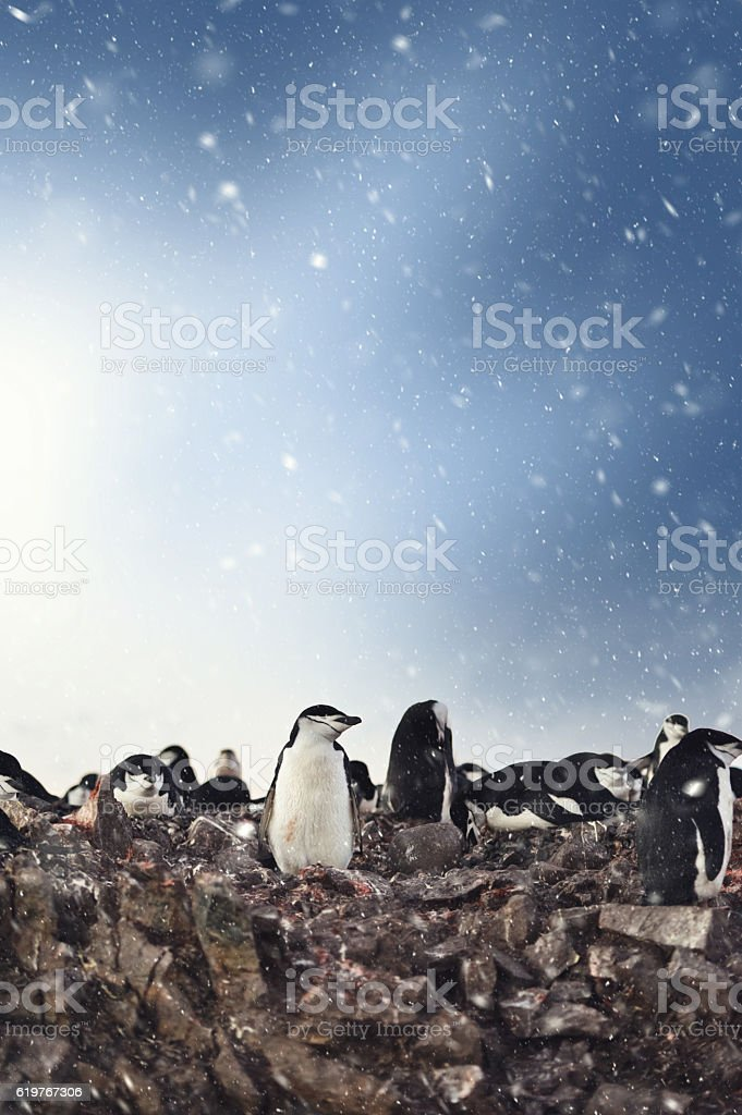 Chinstrap Penguins Nesting In Snow stock photo
