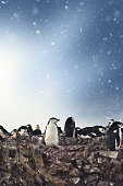 Chinstrap Penguins Nesting In Snow