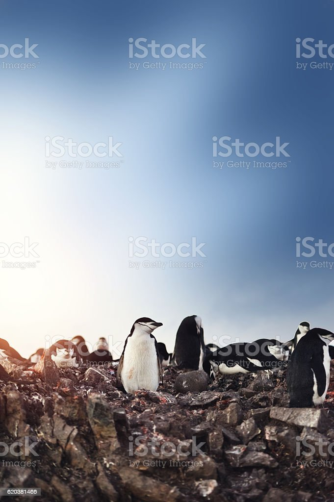 Chinstrap Penguins Nesting On Antarctica stock photo