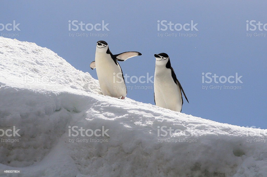 Chinstrap Penguins on an Iceberg royalty-free stock photo