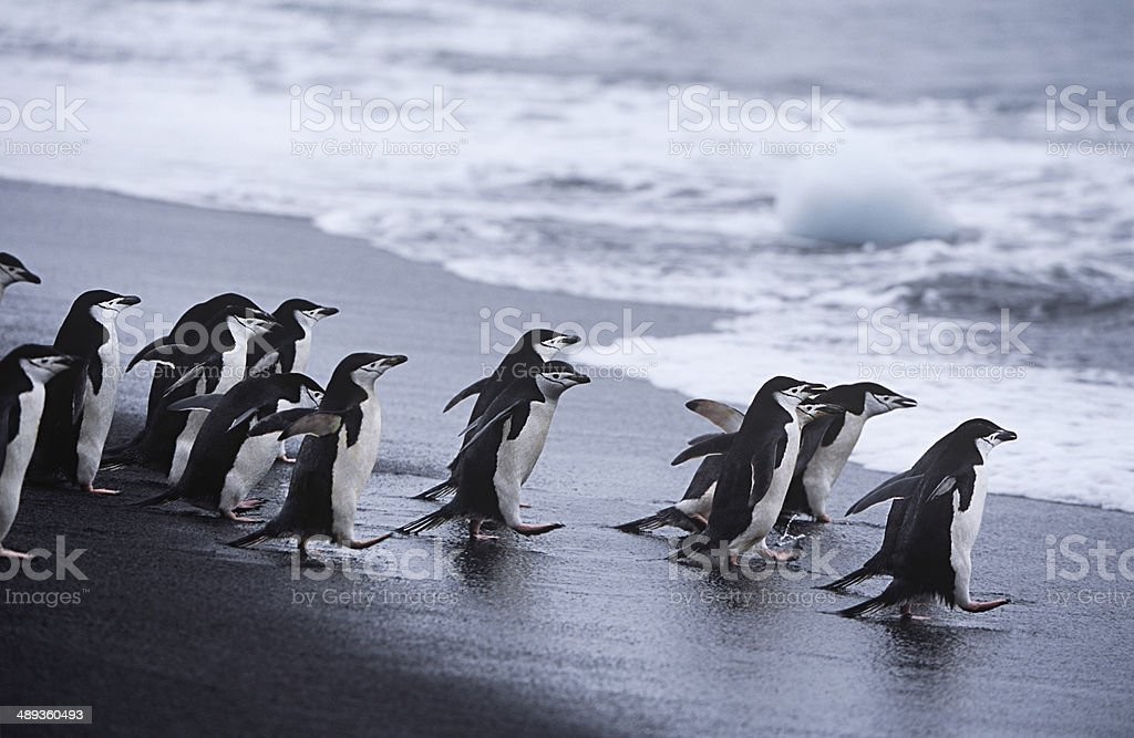 Chinstrap Penguins stock photo