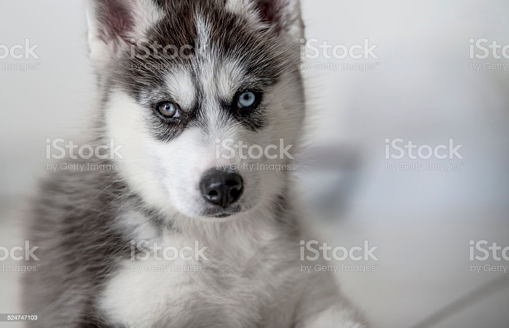 Chiot Husky Siberien stock photo
