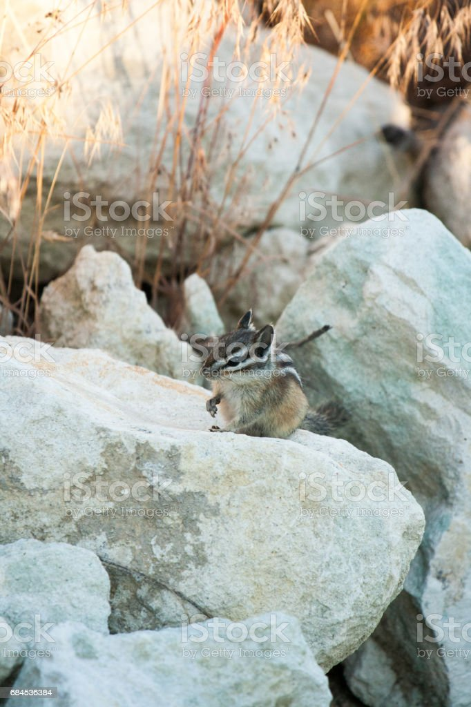 Chipmank on the rocks on the dusk stock photo