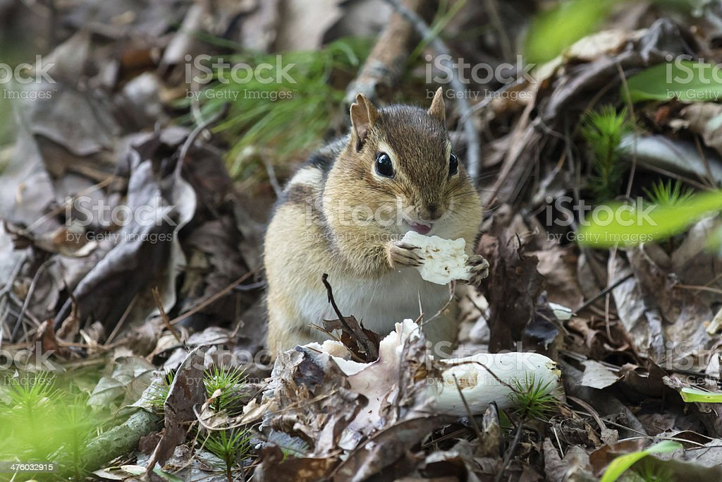 Chipmonk in the forest stock photo