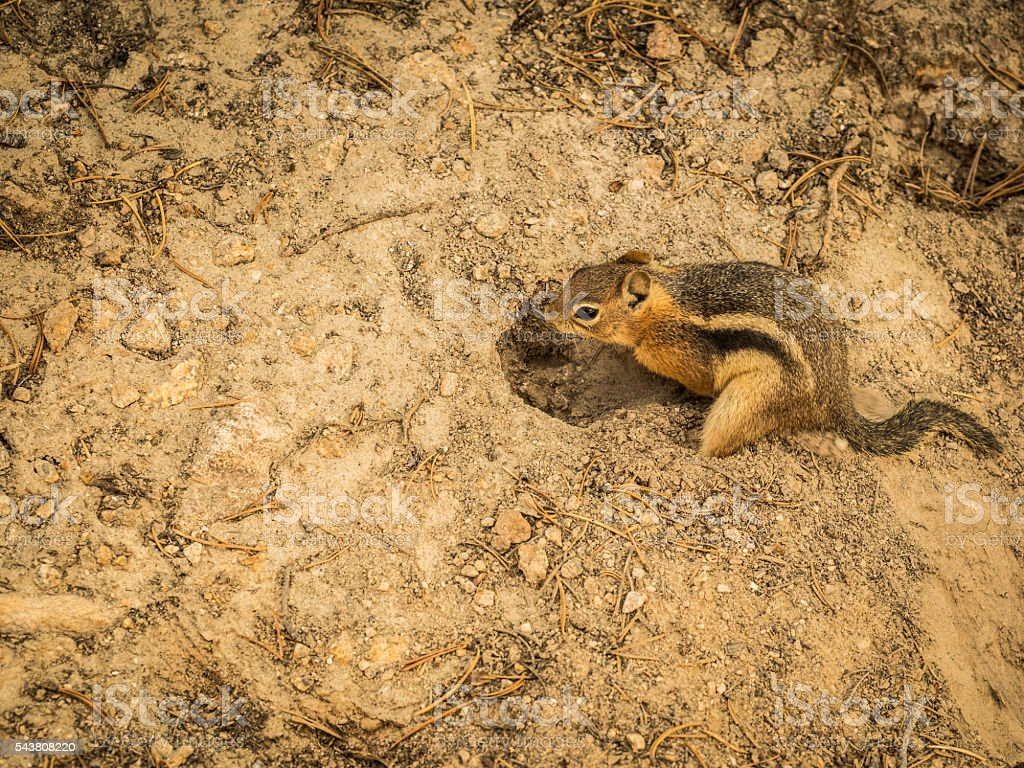 Chipmunk at Burrow in Dirt stock photo