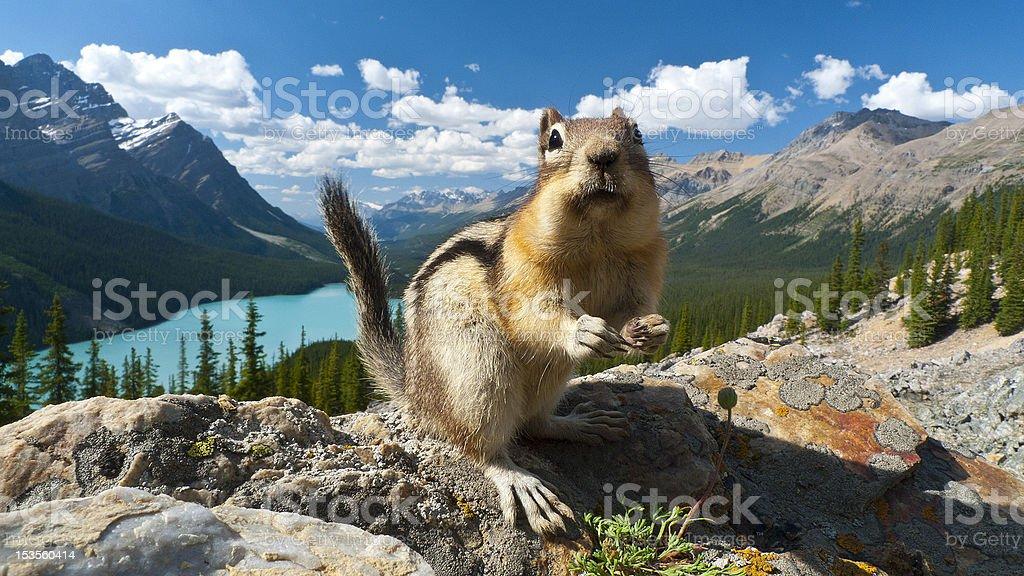 Chipmunk at Peyto Lake stock photo