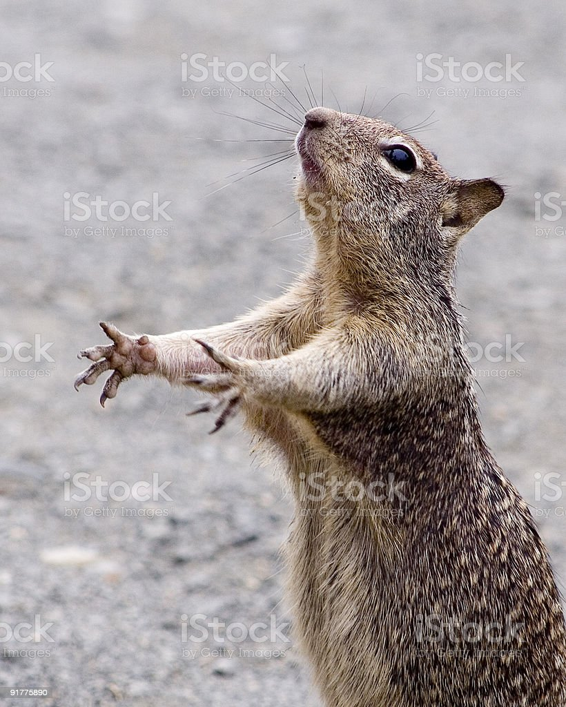 Chipmunk begging for snacks royalty-free stock photo