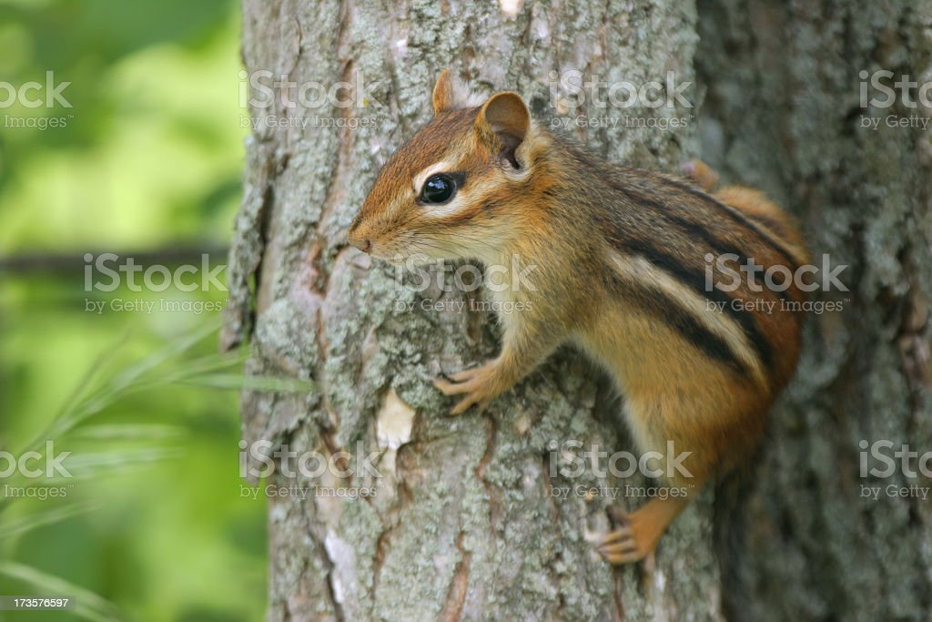 Chipmunk climbing on a tree with green background  stock photo