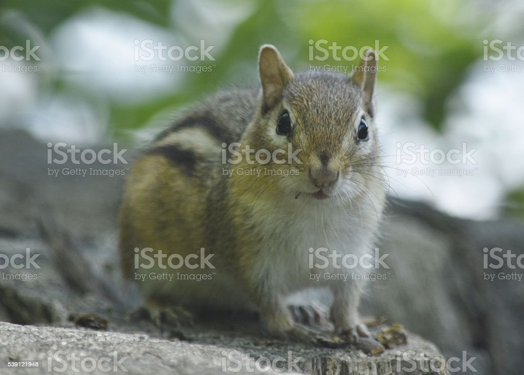 Chipmunk close up, facing the camera stock photo