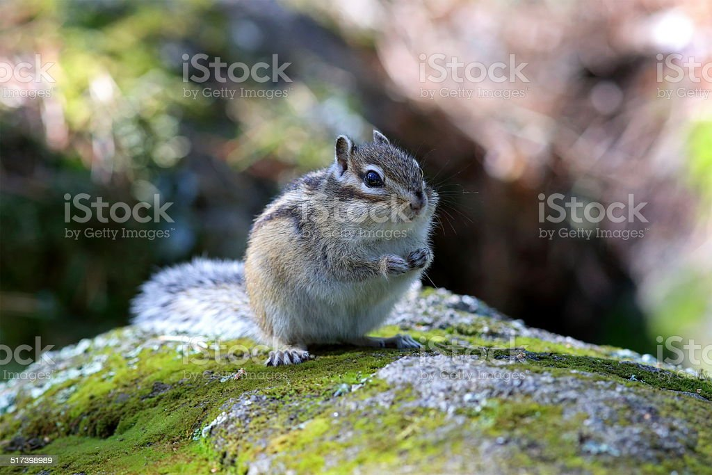 Chipmunk close up stock photo