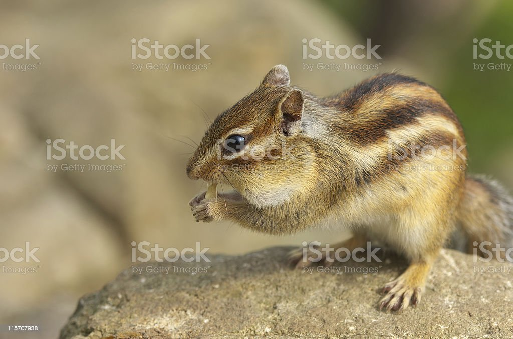 Chipmunk earing a walnut royalty-free stock photo