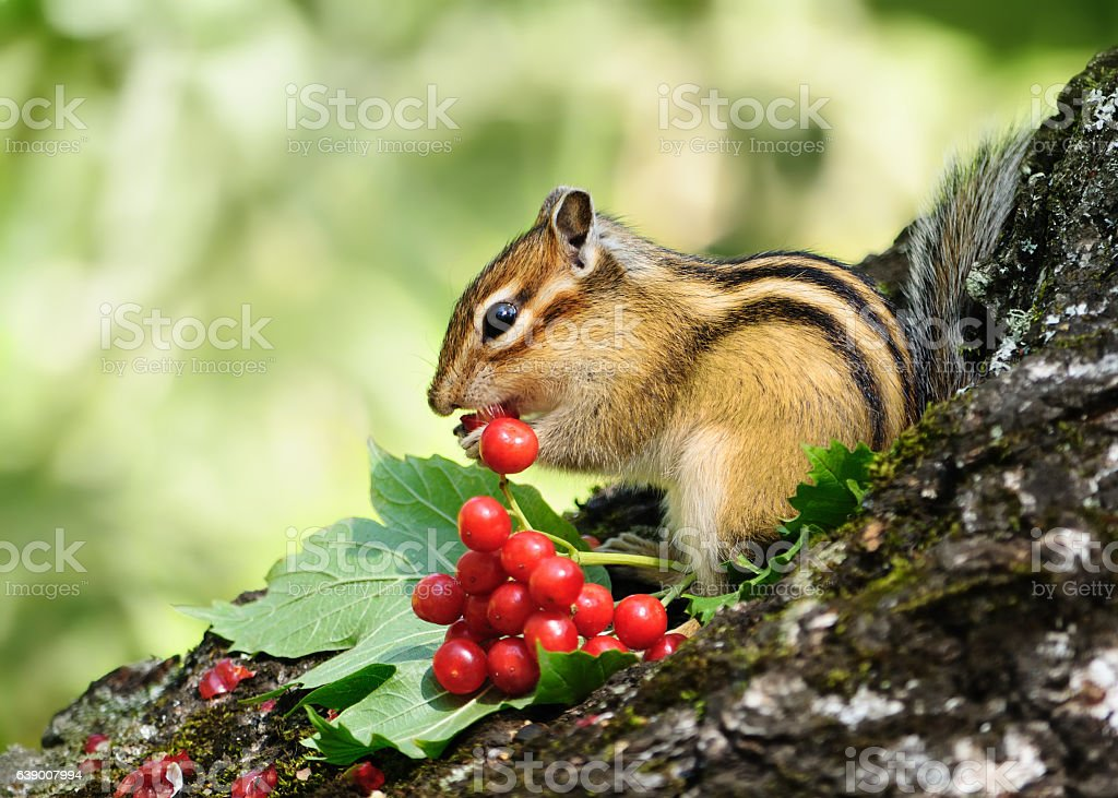 Chipmunk eating berries viburnum. stock photo