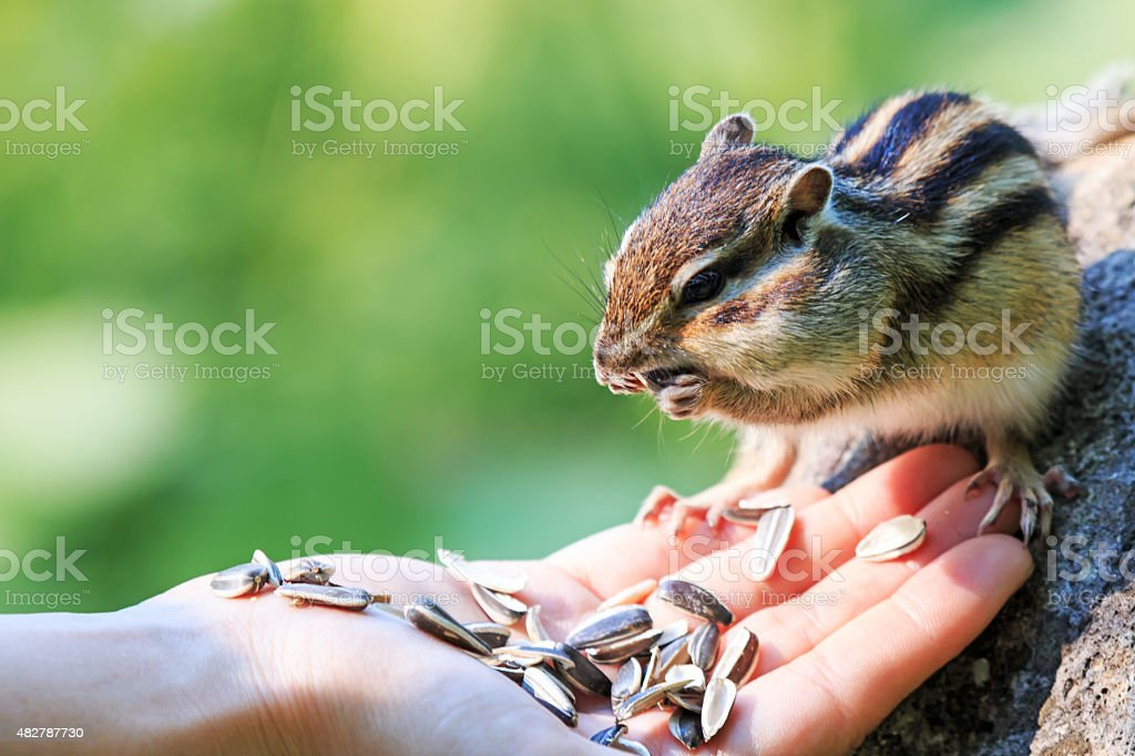 Chipmunk eating food from the palm of a human stock photo