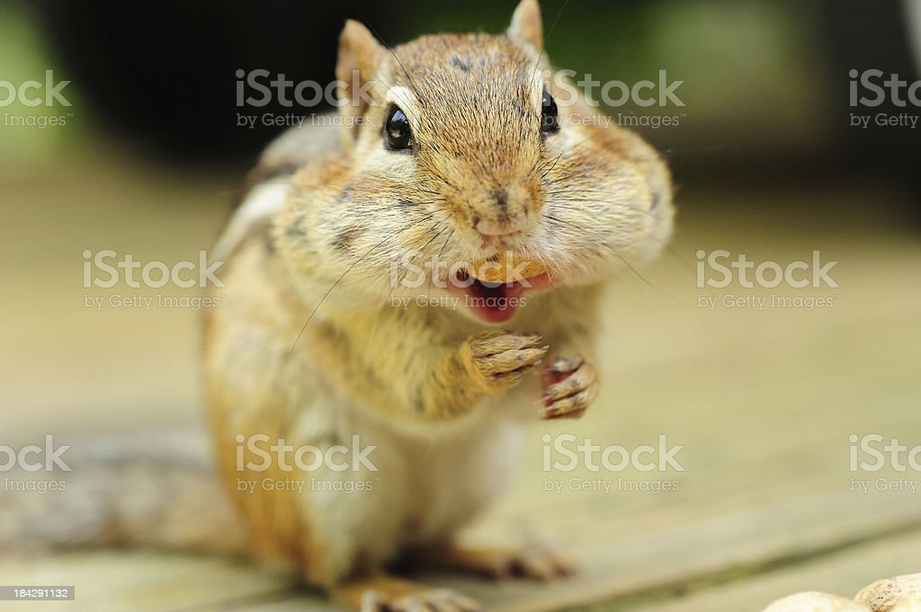 Chipmunk eating peanut stock photo