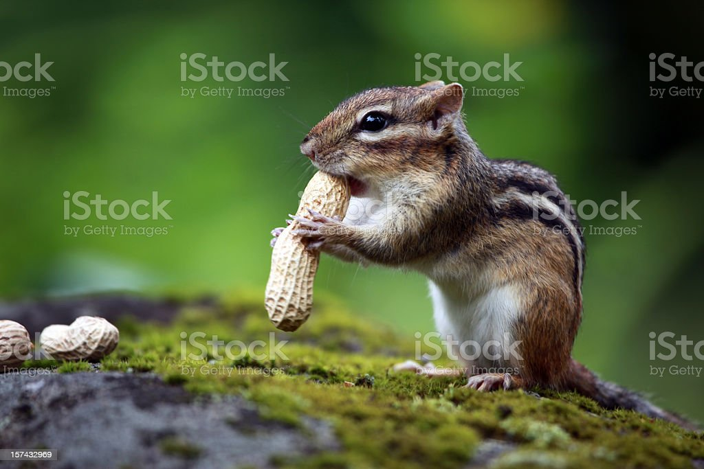 Chipmunk Eating Peanuts in Forest stock photo