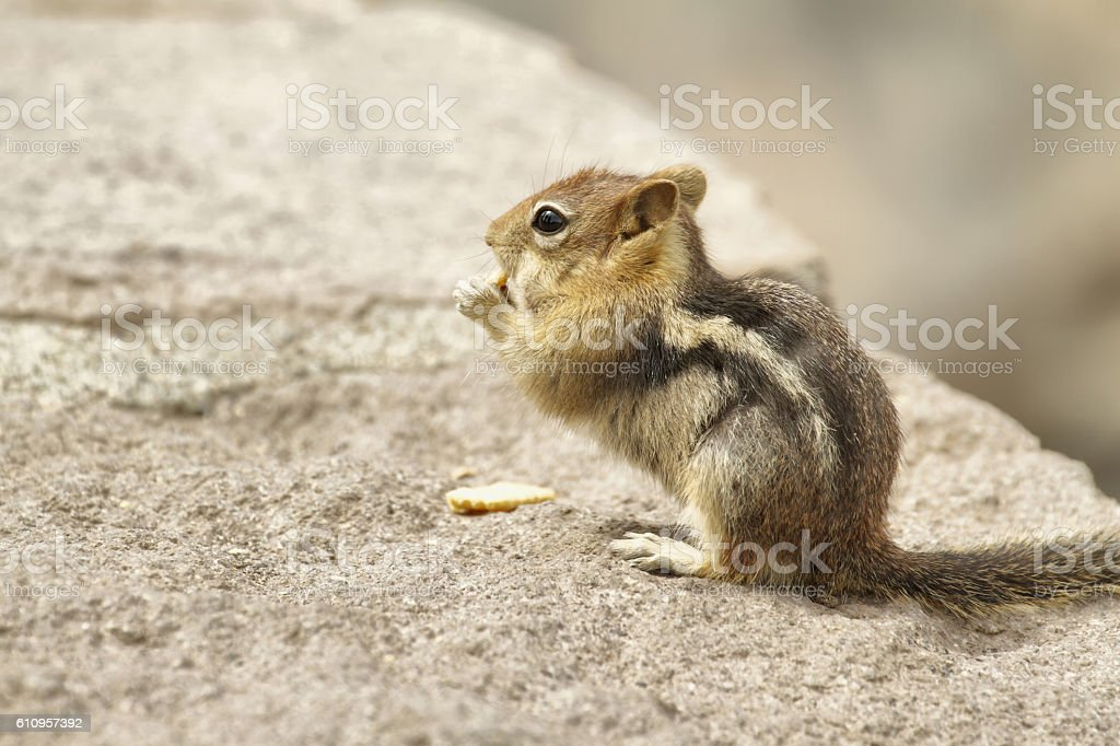 Chipmunk eating stock photo