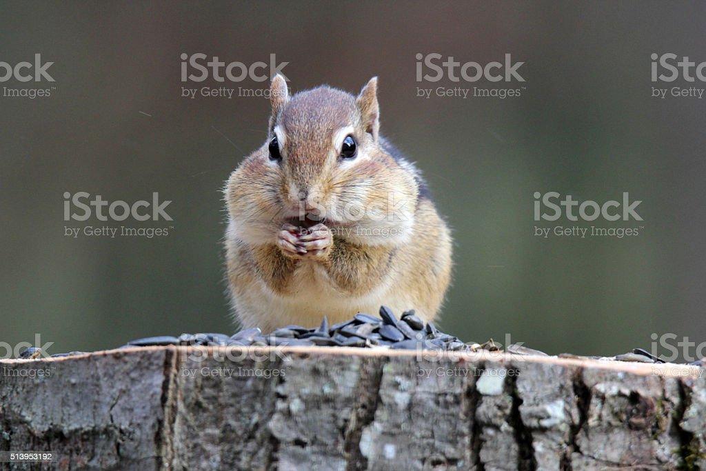 Chipmunk Eating Seeds stock photo