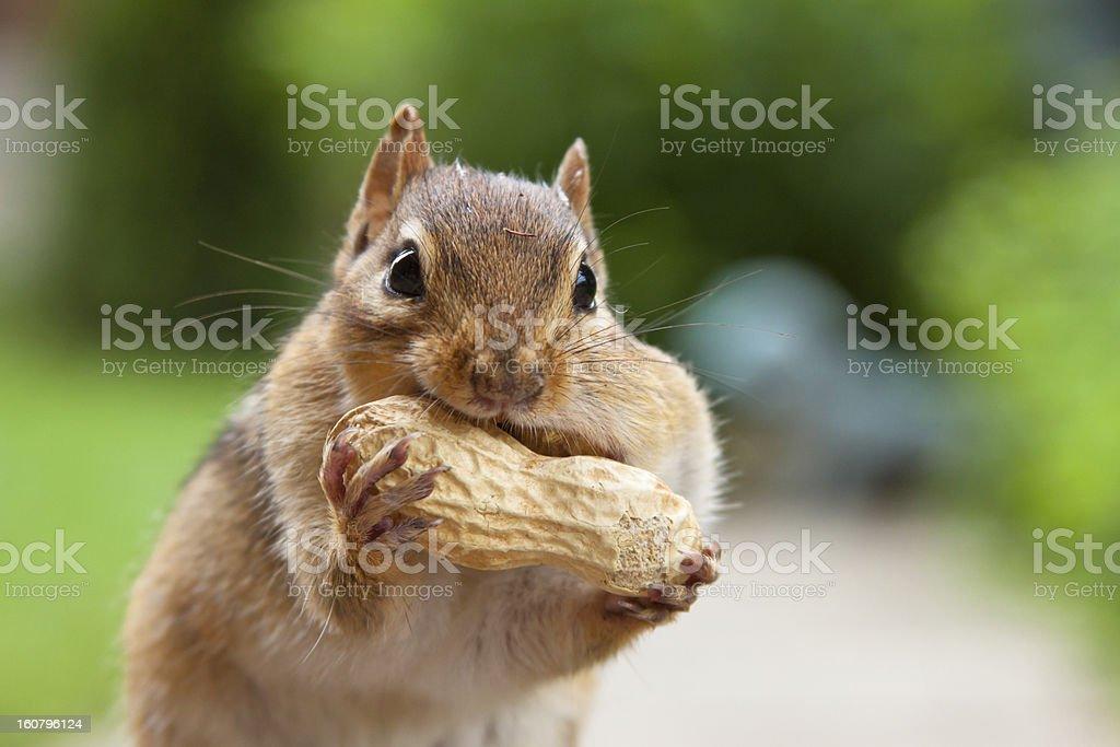 Chipmunk enjoying large peanut stock photo