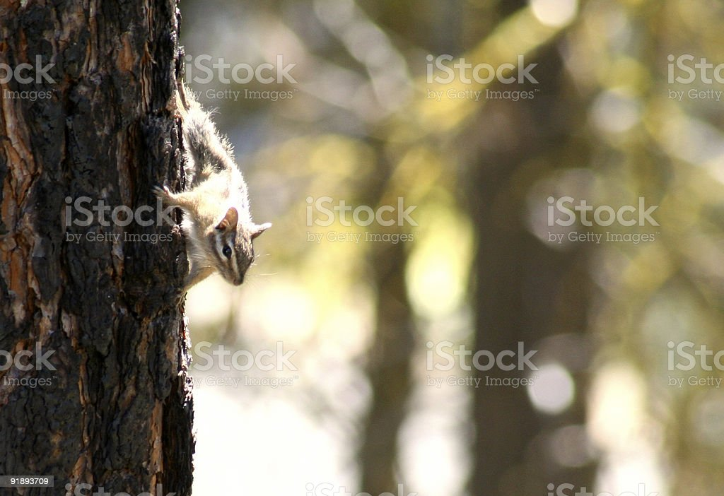 chipmunk going down royalty-free stock photo