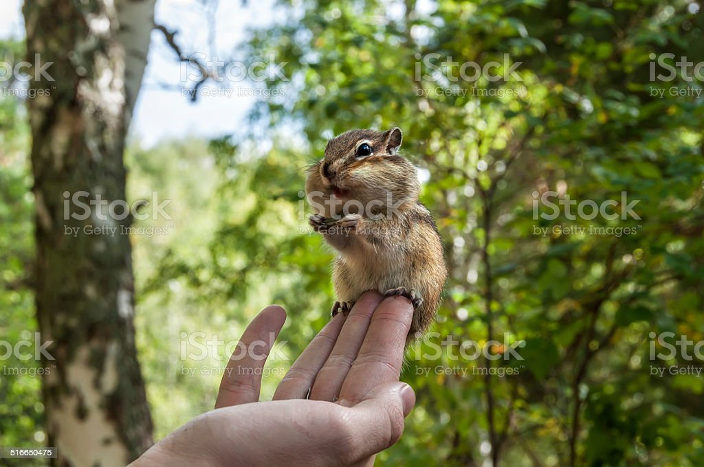 chipmunk hand seeds feeding stock photo