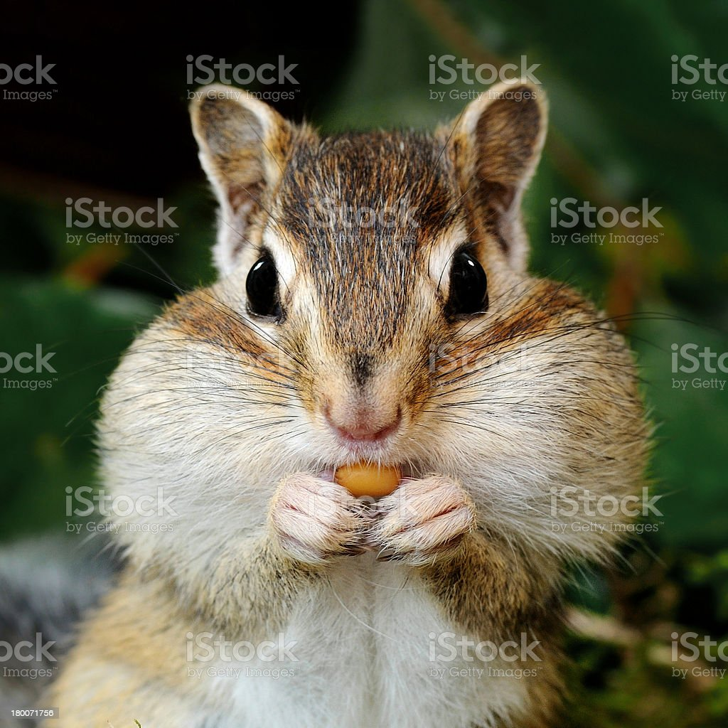 Chipmunk in forest stock photo