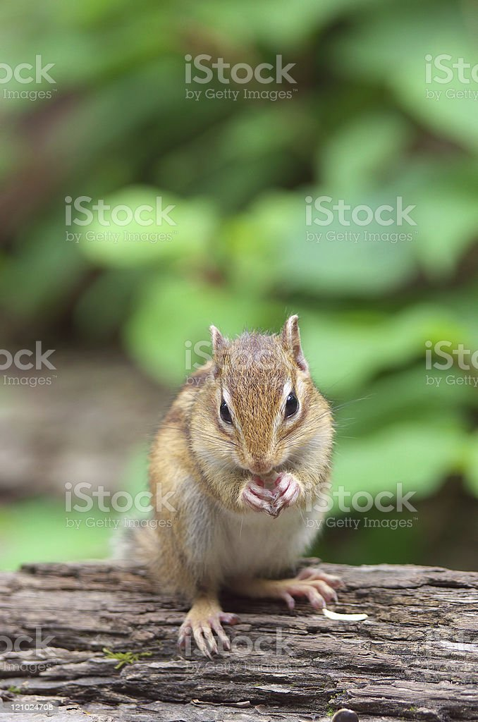 Chipmunk in Hokkaido royalty-free stock photo