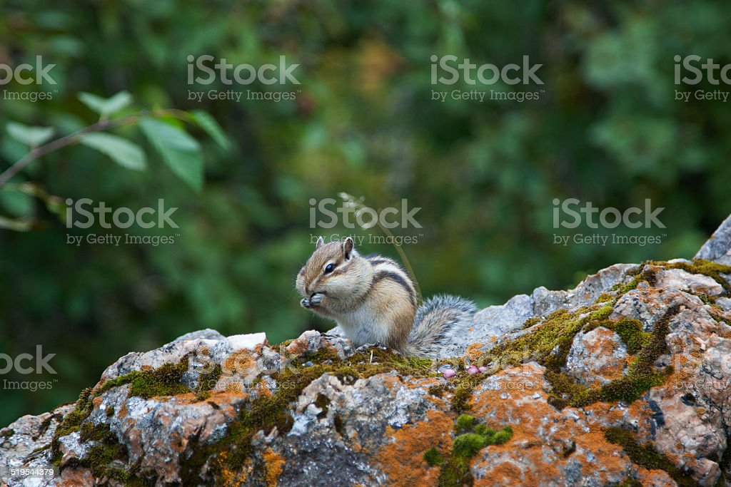 Chipmunk in the wood stock photo