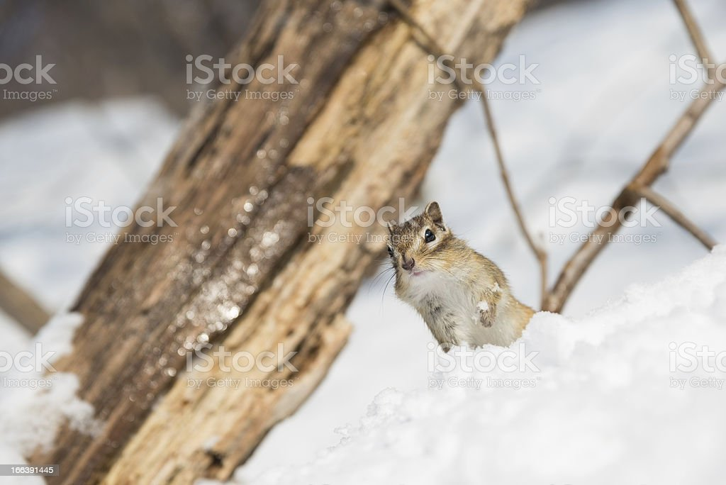 Chipmunk in Winter royalty-free stock photo