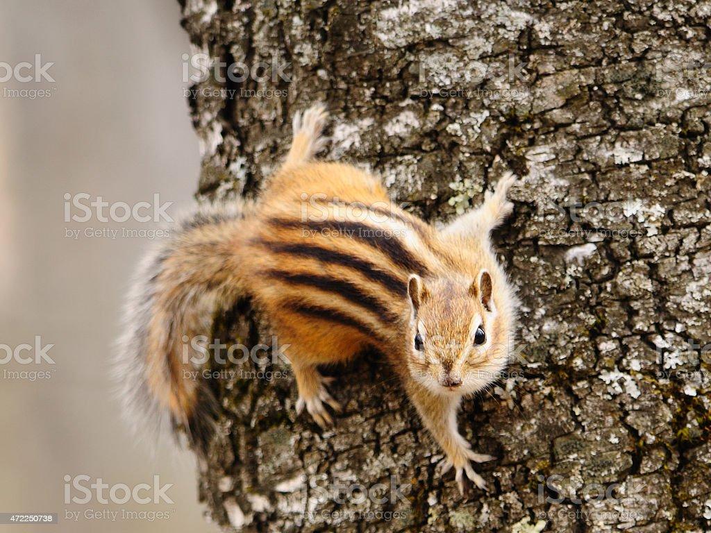 Chipmunk on a tree branch. stock photo