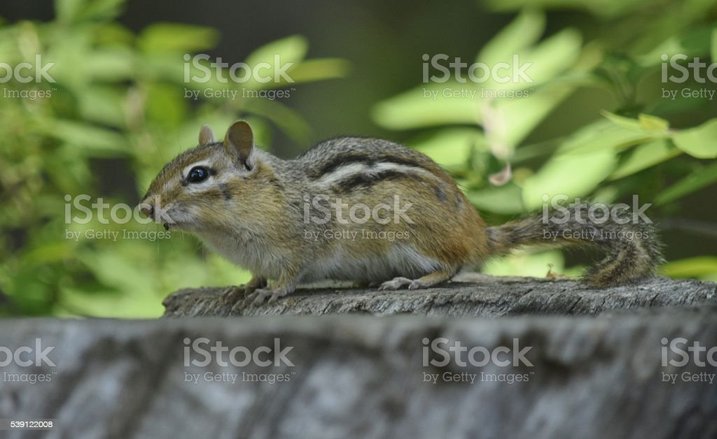 Chipmunk on a tree stump stock photo