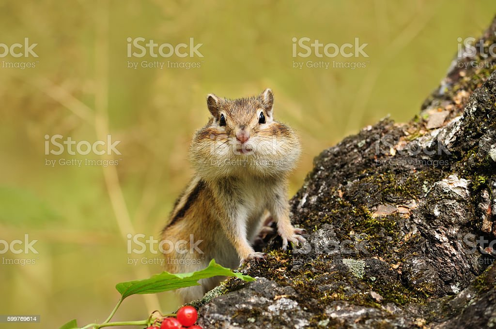 Chipmunk on a tree trunk. stock photo