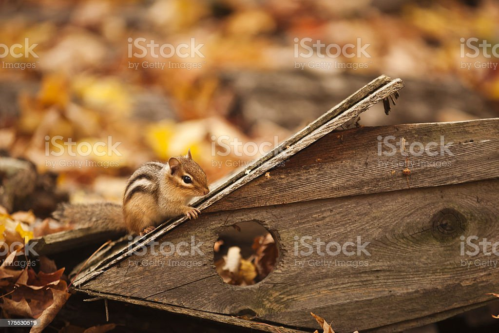 Chipmunk on Birdhouse royalty-free stock photo