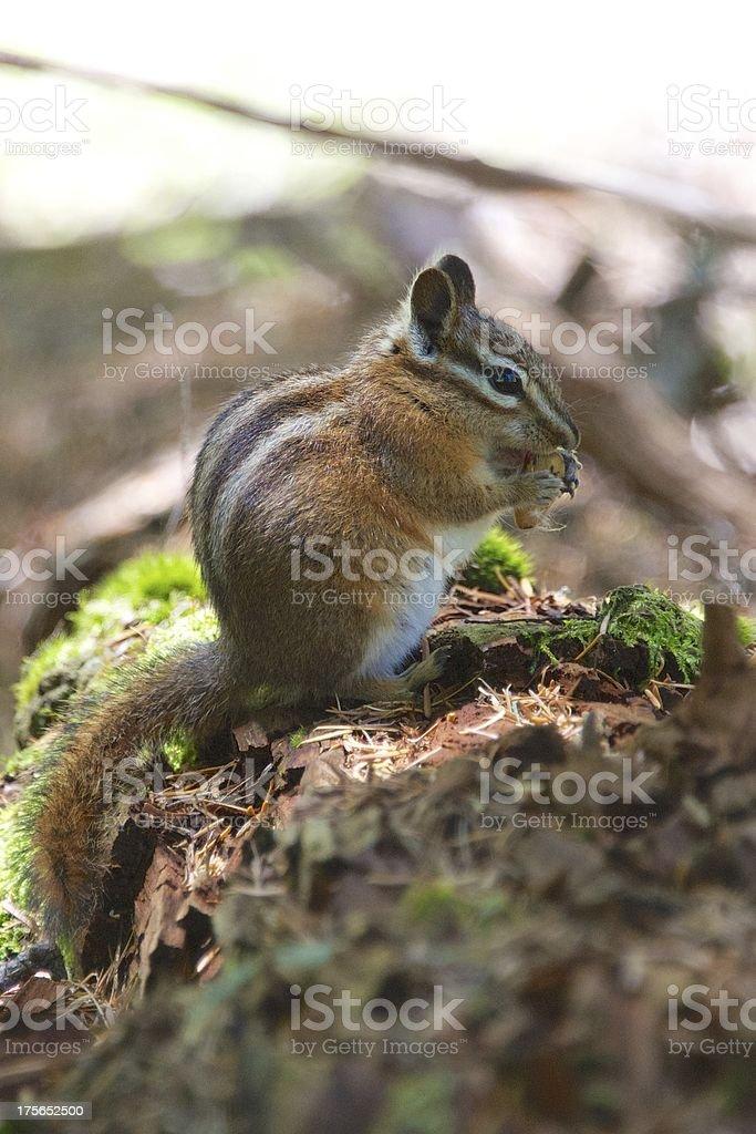 Chipmunk royalty-free stock photo