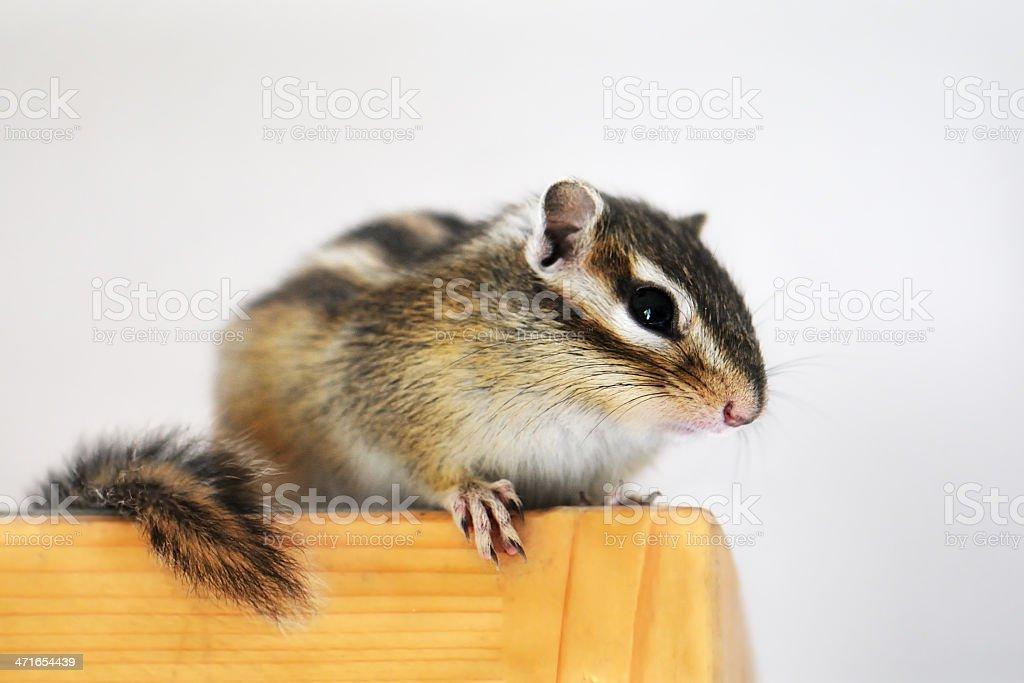 Chipmunk stock photo