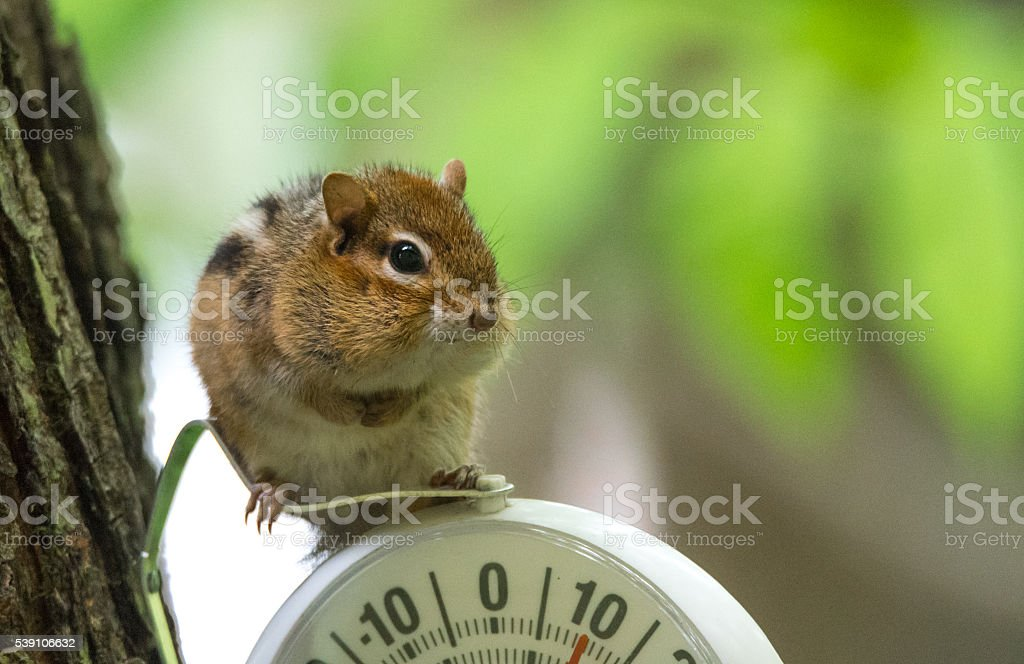 Chipmunk (Tamias), sits up, on top of an outdoor thermometer. stock photo