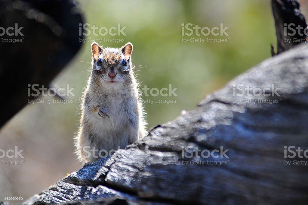 Chipmunk sitting on a tree stock photo