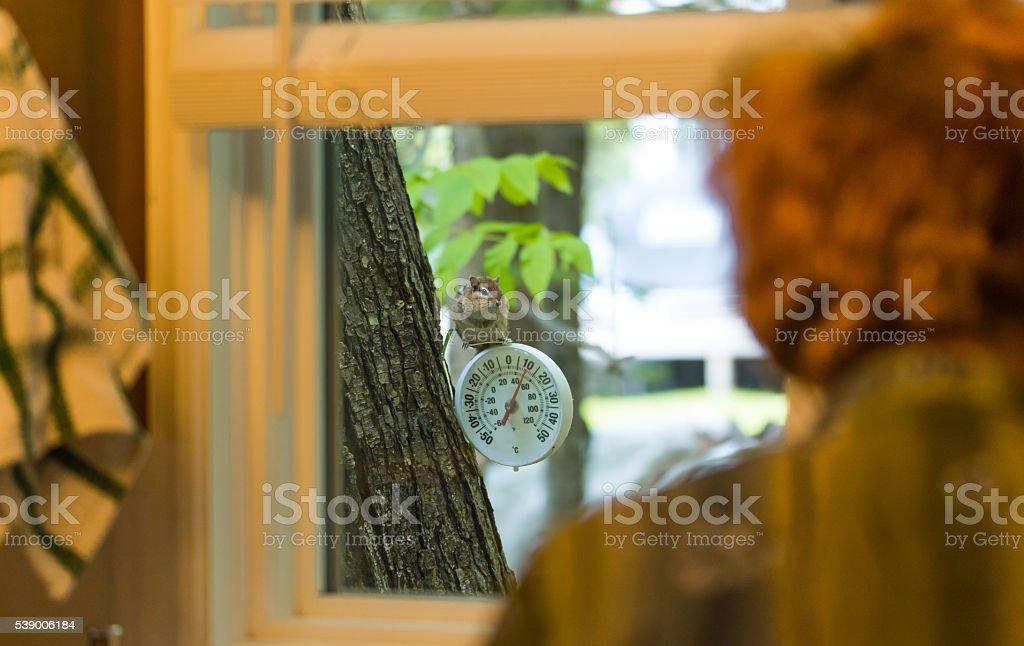 Chipmunk watches woman through kitchen window. stock photo