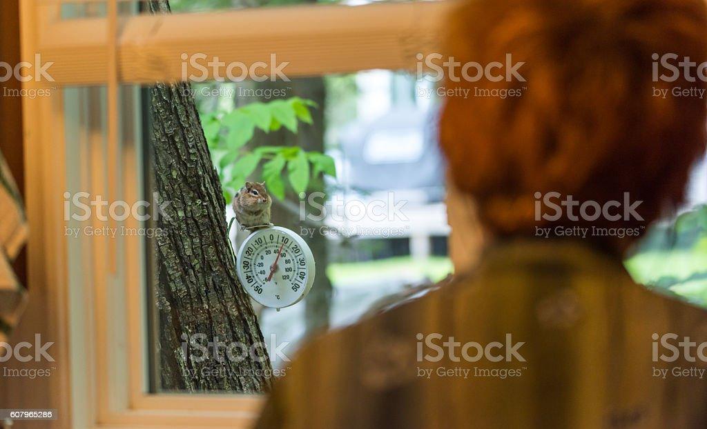 Chipmunk (Tamias), watches woman through kitchen window. stock photo