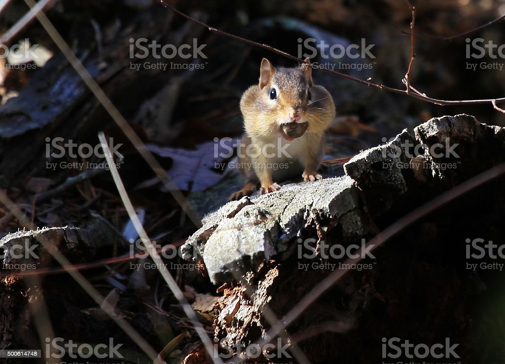 Chipmunk with a mouthful of acorns stock photo