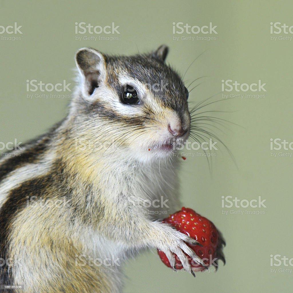 Chipmunk with strawberry stock photo