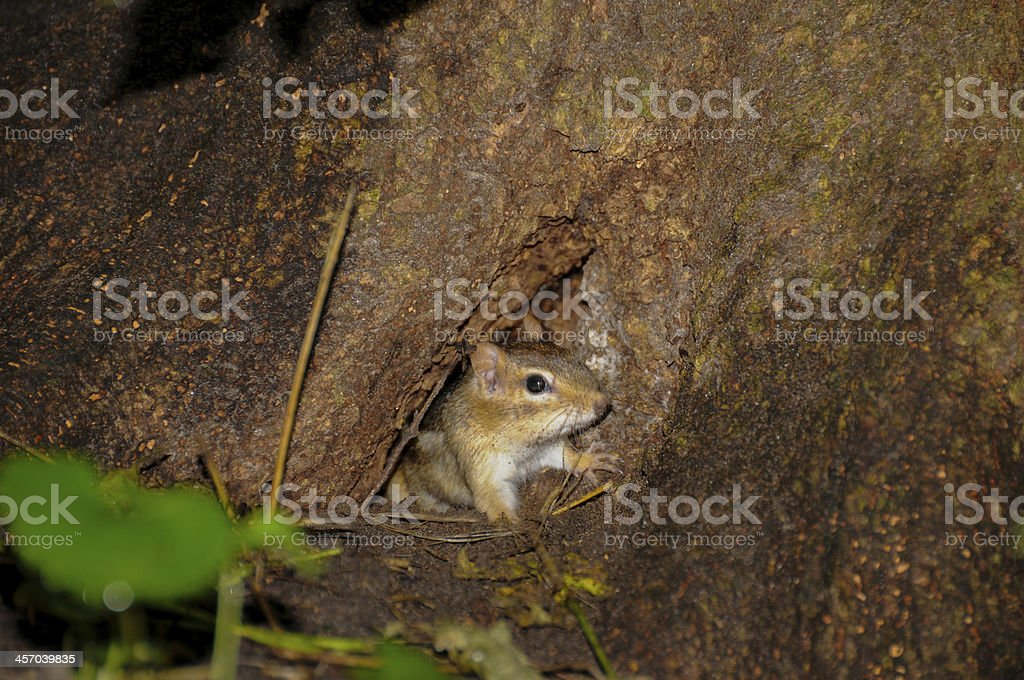 chipmunks house two stock photo
