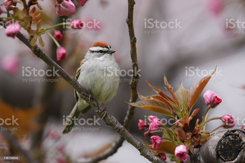 Chipping Sparrow, Eastern subspecies stock photo