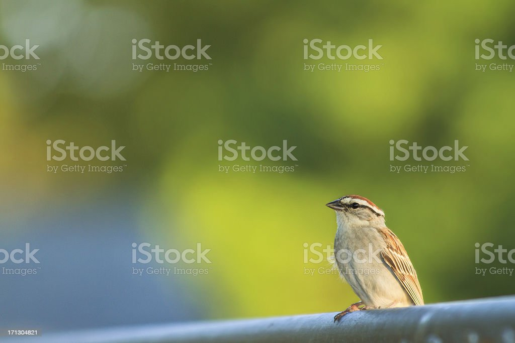 Chipping Sparrow  On A Fence royalty-free stock photo