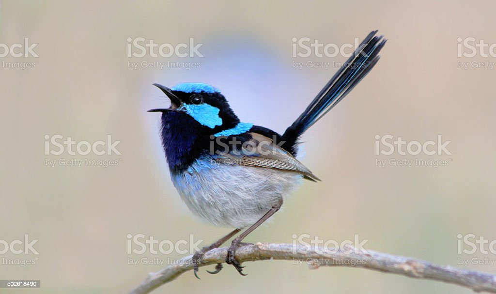 Chirping blue wren stock photo