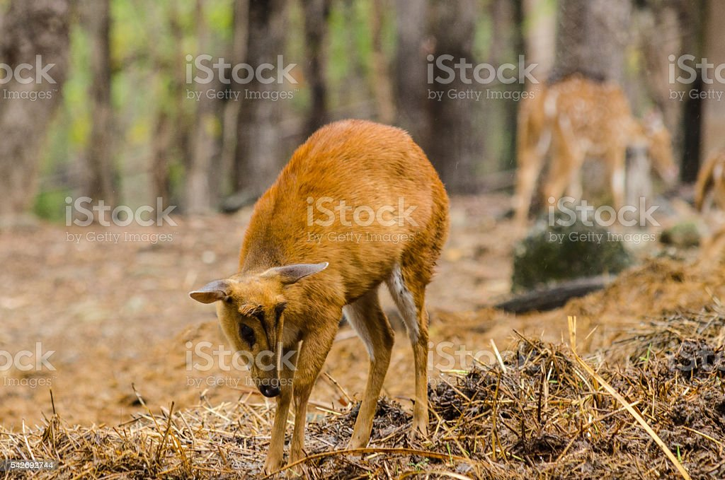 Chital in forest stock photo