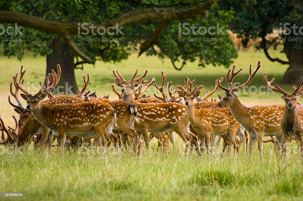 Fallow Deer herd under trees stock photo