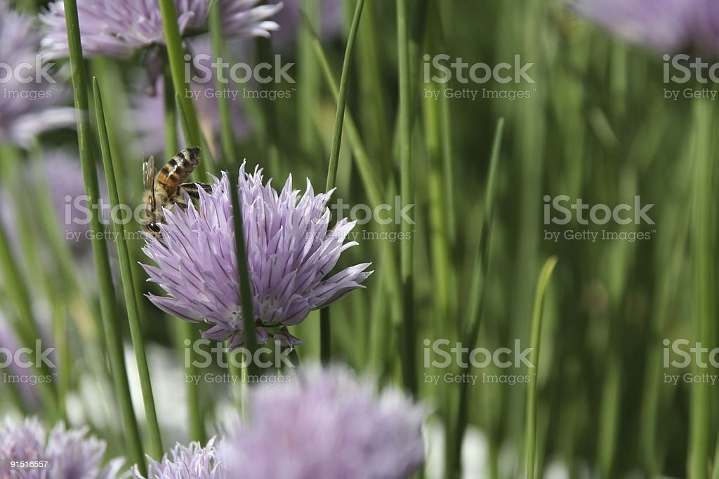 Chive and a bee stock photo